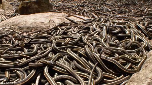 narcisse snake dens2