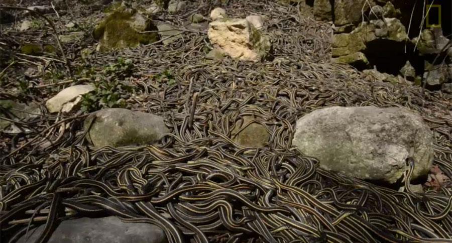 narcisse snake dens3